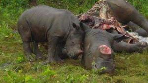 chinese-medicine-rhino-horn