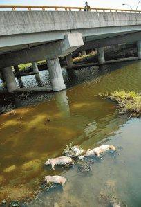 Piggies in the Huangpu river