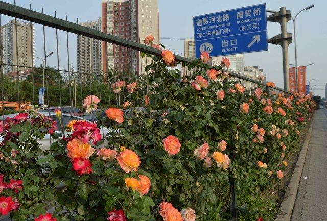 Beijing roses 1