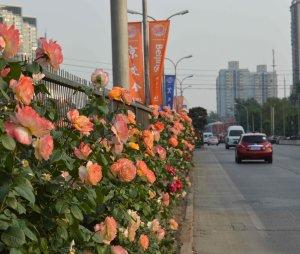 Beijing roses 2