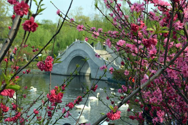 Bridge and blossom