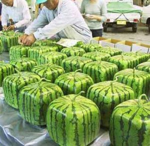 Watermelons - square