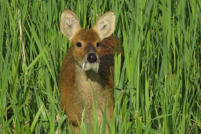 Chinese-water-deer,-Strumpshaw-Fen,-Jackie-Dent,-16-August-2014-(Small).jpg.jpg