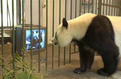 panda_watching_tv.jpg