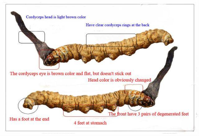 cordyceps sinensis351